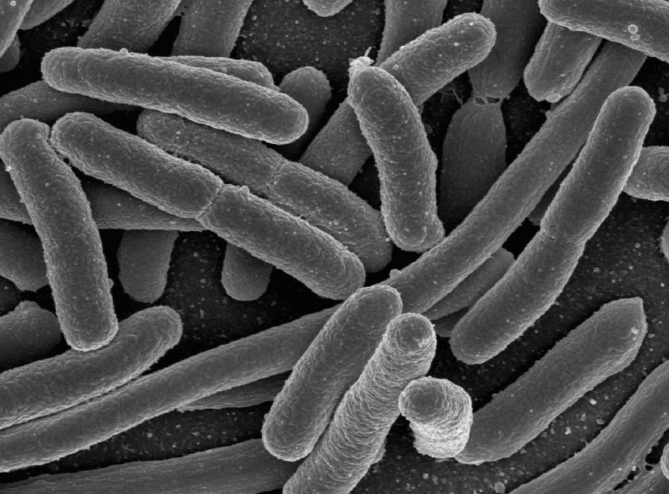 quali batteri avere nell'intestino per dimagrire
